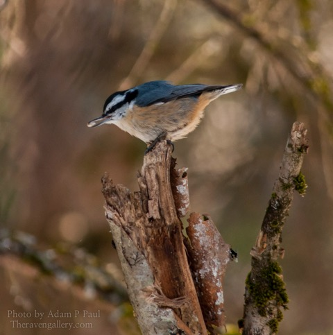 I've been watching the nuthatches outside of my window while writing. It makes it feel like spring just a bit!